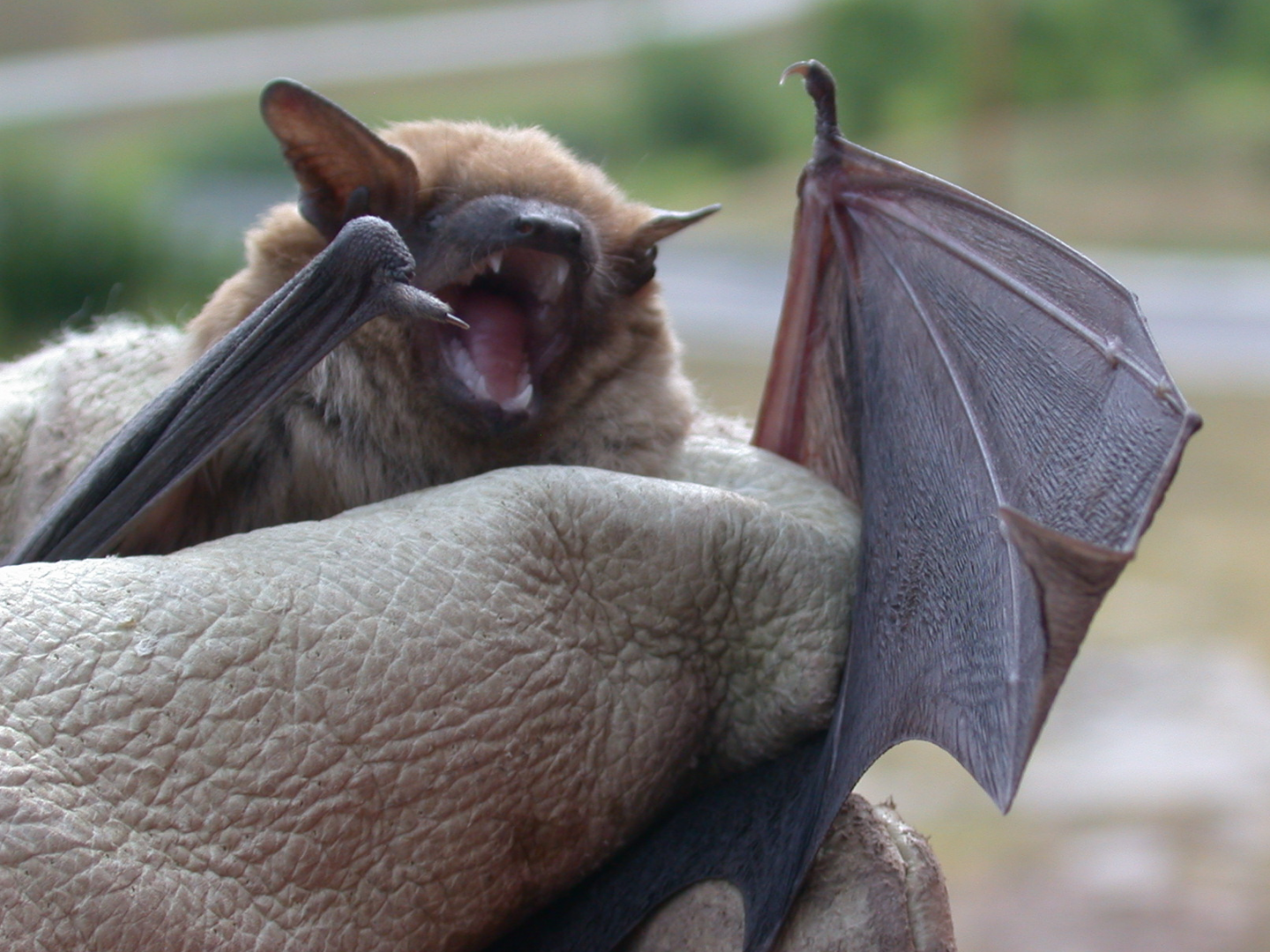 Bat Removal in the Kansas City Metro Area